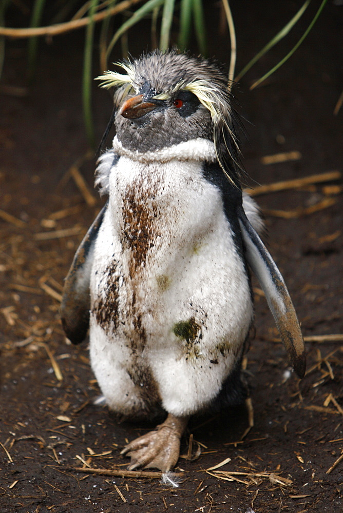 Adult rockhopper penguin (Eudyptes chrysocome moseleyi) going through a catastrophic molt on Nightingale Island in the Tristan da Cunha Island Group, South Atlantic Ocean. This sub-species of rockhopper penguin is endemic to the Tristan da Cunha Island Gr