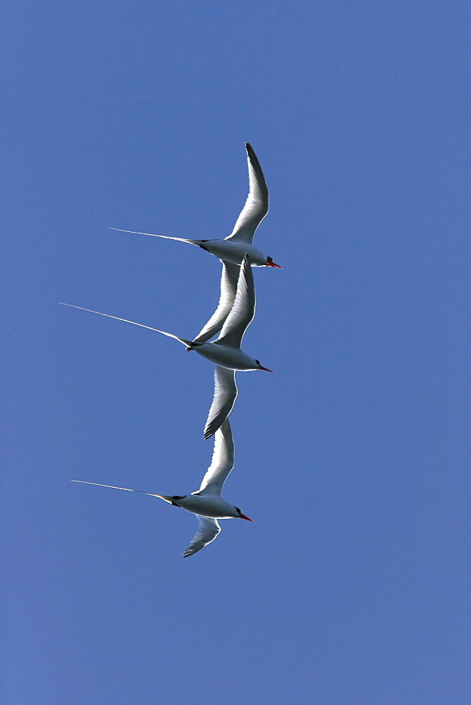 Three Red-billed Tropicbird (Phaethon aethereus) in flight during mating season over Isla San Pedro Martir in the Gulf of California (Sea of Cortez), Mexico.