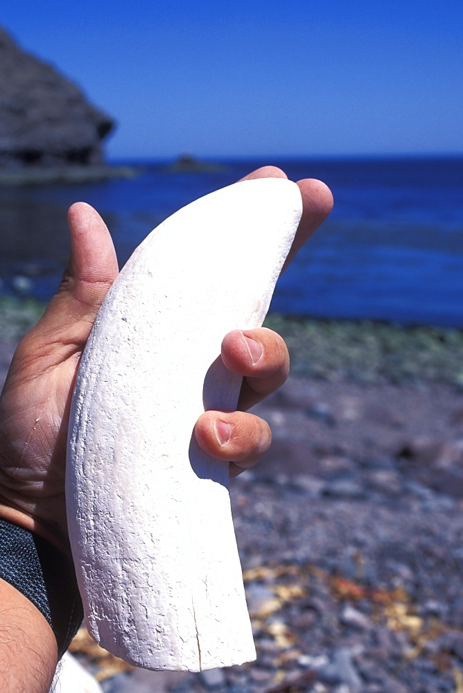 Eight-inch tooth from lower right mandible (jawbone) of an adult bull Sperm Whale (Physeter macrocephalus) in the mid-riff region of the Gulf of California (Sea of Cortez), Mexico.