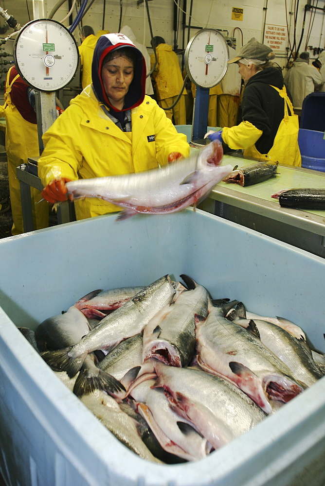 Salmon processing in Petersburg, Southeast Alaska at the Norquest fish processing plant.