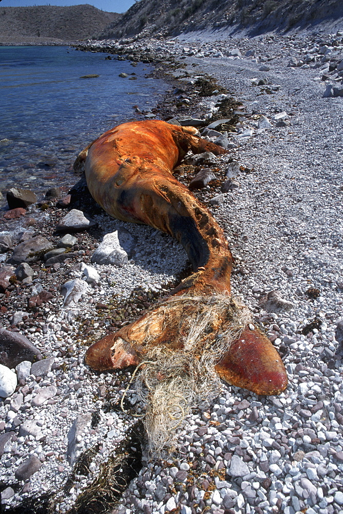 Gray Whale Calf, Eschrichtius robustus, dead with fishing net around flukes, Isla Tiburon, Sonora, Mexico