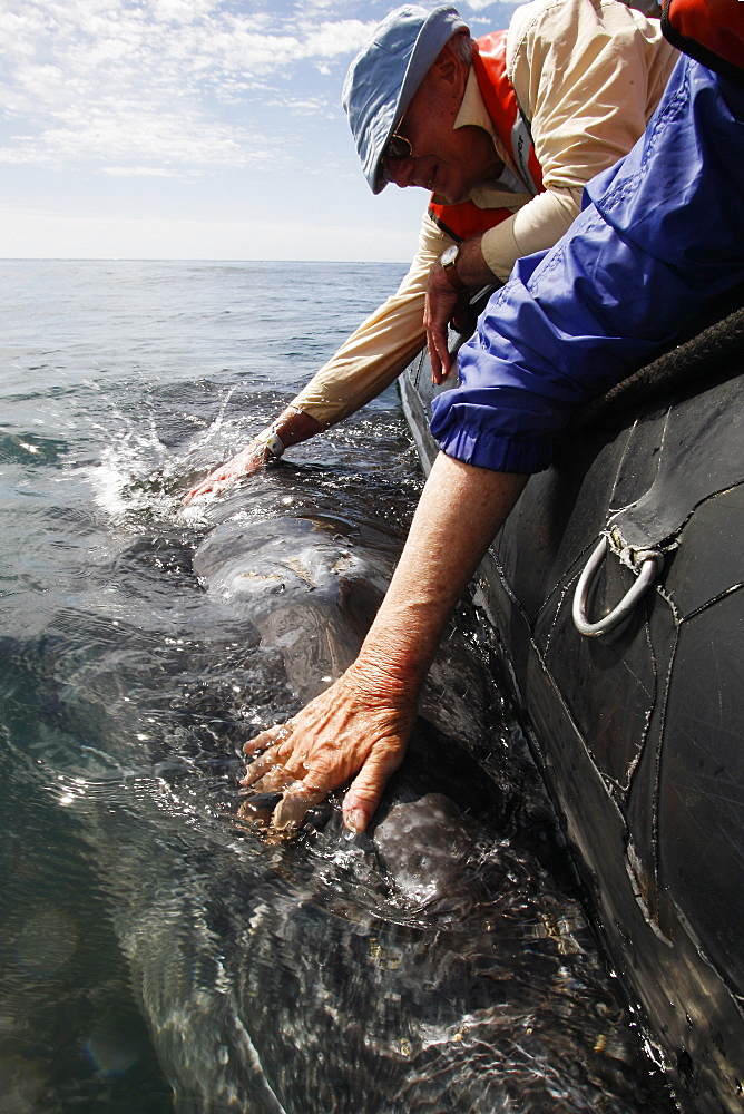 California gray whale (Eschrichtius robustus) calf being touched by excited whale watchers in the calm waters of San Ignacio Lagoon, Baja California Sur, Mexico. - 979-2309