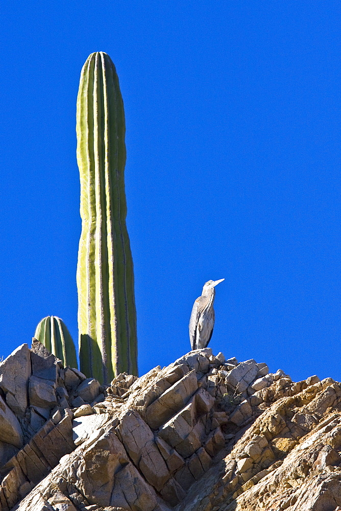 Adult Great Blue Heron (Andea herodias) standing near a cardon cactus on Isla Catalina in teh Gulf of California (Sea of Cortez), Baja California Sur, Mexico.