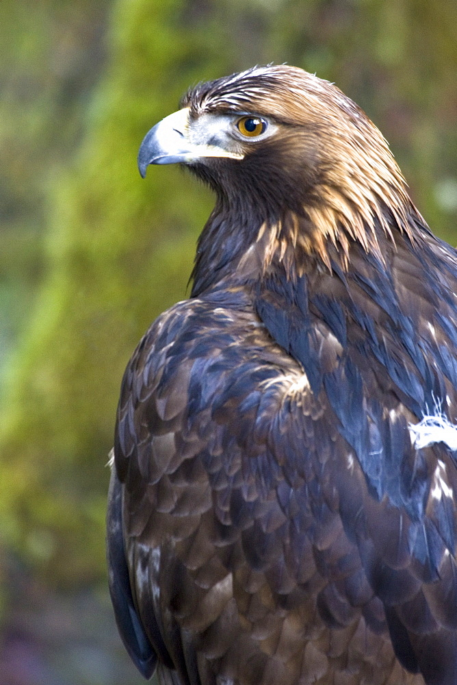 Captive adult golden eagle (Aquila chrysaetos)at the raptor rehabilitation center just outside of Sitka, Southeast Alaska, USA. Pacific Ocean.