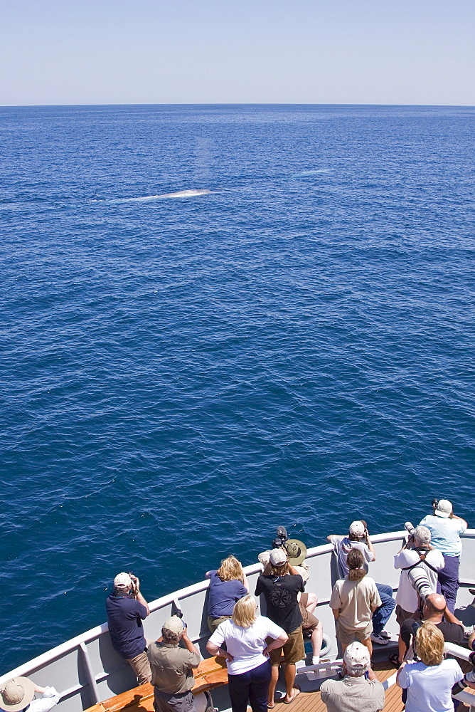 Whale watchers on the Lindblad ship National Geographic Sea Bird with adult blue whales (Balaenoptera musculus) surfacing in the middle Gulf of California (Sea of Cortez), Baja California Sur, Mexico. The blue whale is the largest animal thought to have ever lived upon planet Earth.