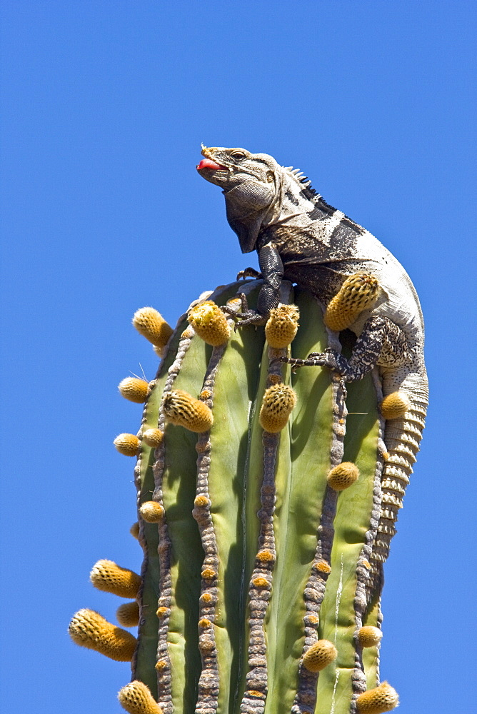San Esteban spiny-tailed iguana (Ctenosaura conspicuosa), an endemic iguana found only on Isla San Esteban in the Gulf of California (Sea of Cortez), Mexico. This large iguanid has become specialized in climbing the tall columnar Cardon cactus to feed on its flowers and fruits, sometimes to a height of over ten meters off the ground