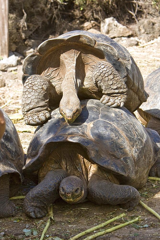 Two adult captive Galapagos giant tortoise (Geochelone elephantopus), Santa Cruz Island in the Galapagos Island Archipelago, Ecuador