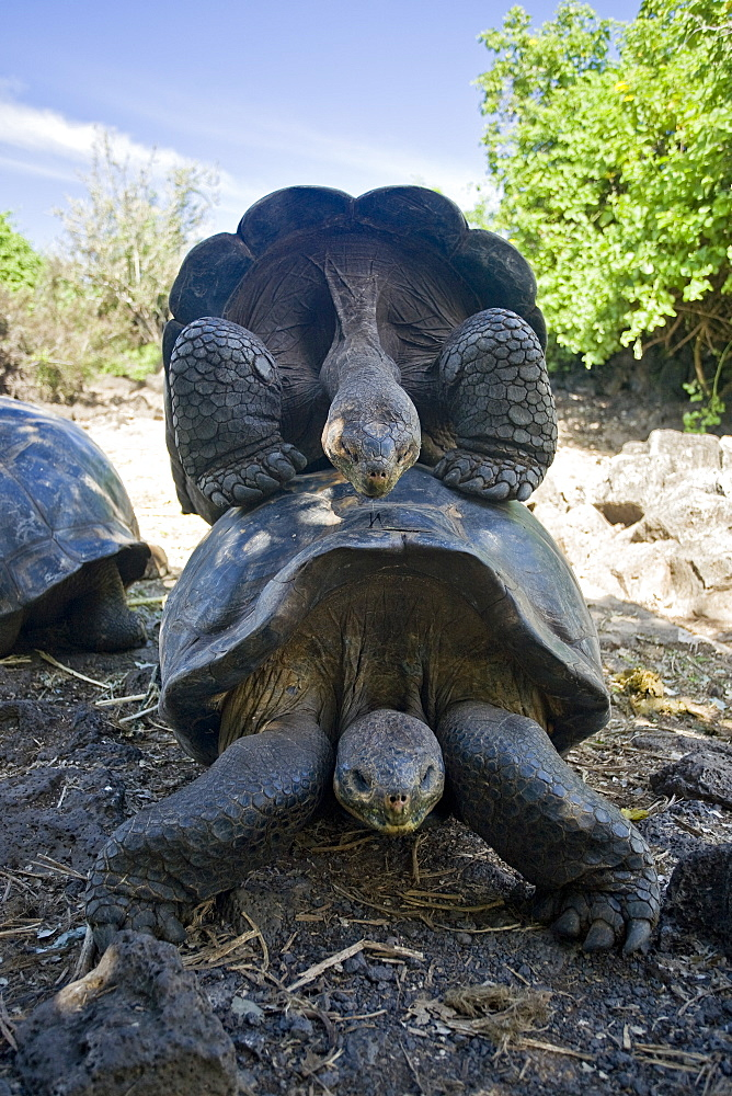 Two adult captive Galapagos giant tortoise (Geochelone elephantopus) at the Charles Darwin Research Station on Santa Cruz Island in the Galapagos Island Archipelago, Ecuador