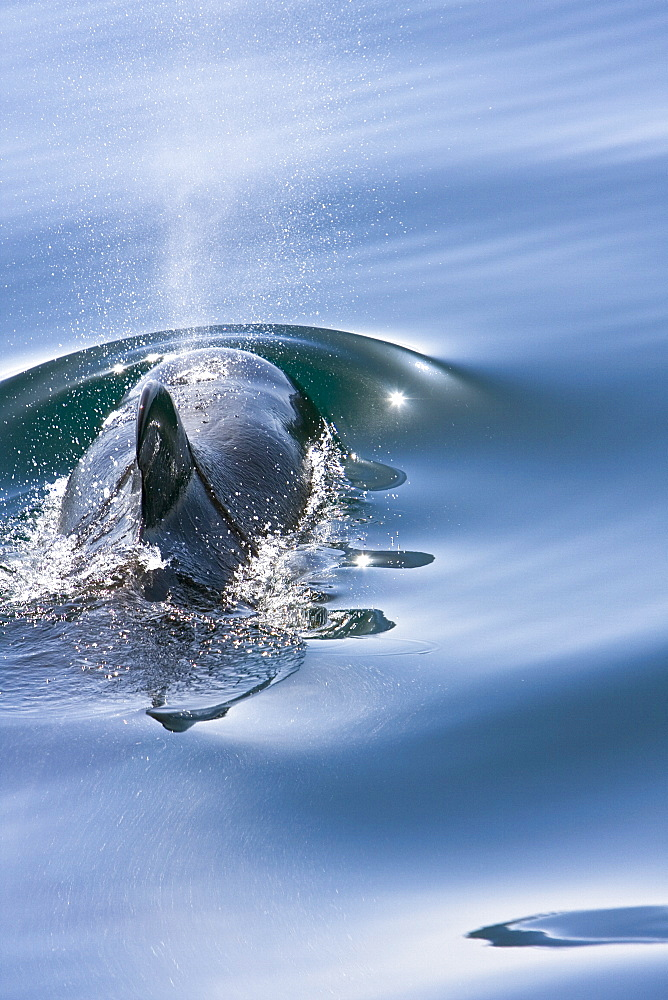 A pod of 40 to 50 short-finned pilot whales (Globicephala macrorhynchus) encountered southwest of Isla San Pedro Martir, Gulf of California (Sea of Cortez), Baja California Norte, Mexico