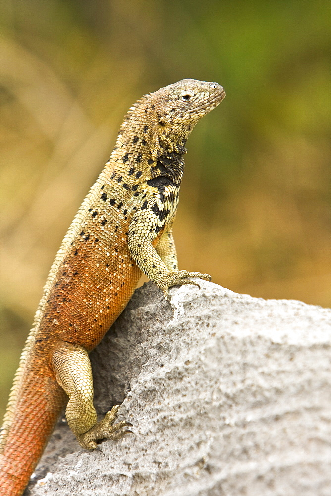 Lava lizard (Microlophus spp) in the Galapagos Island Archipeligo. Many of the islands within the Galapagos Island Archipeligo have their own endemic species.