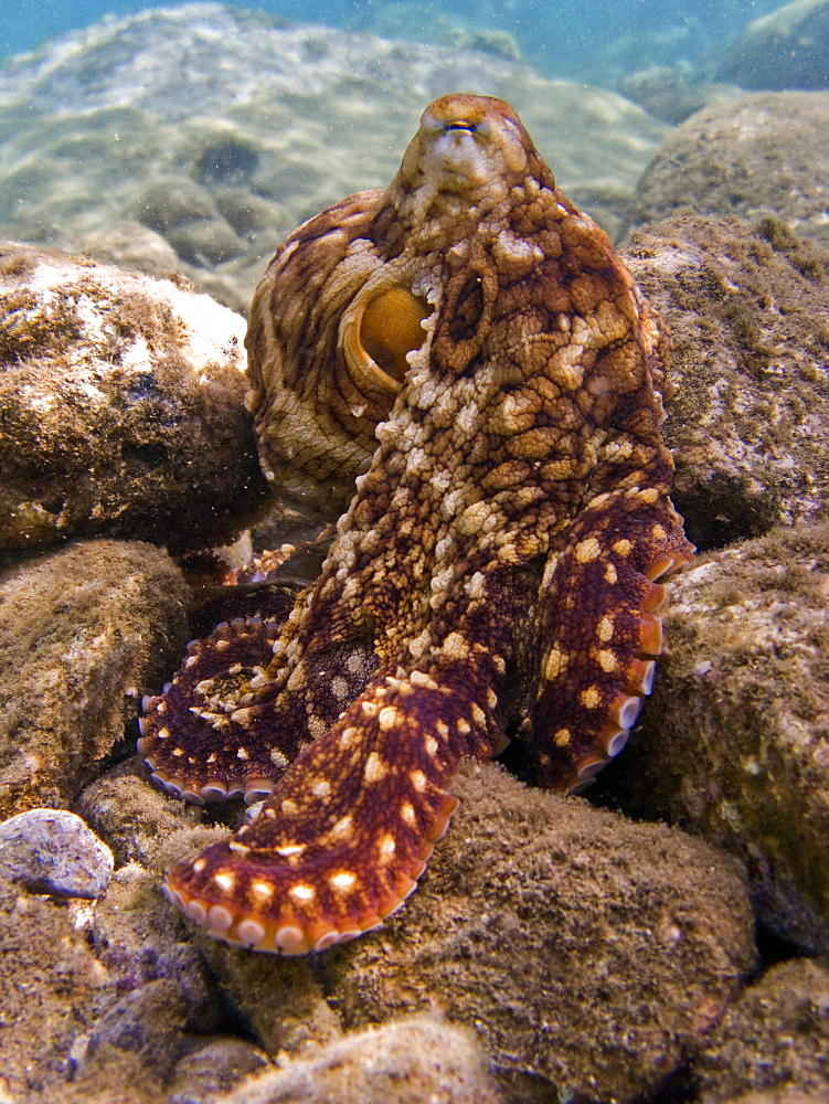 An adult day or Cyanea octopus (Octopus cyanea) changing color and texture in the marine preserve at Honolua Bay on the northwest side of Maui, Hawaii, USA. Pacific Ocean