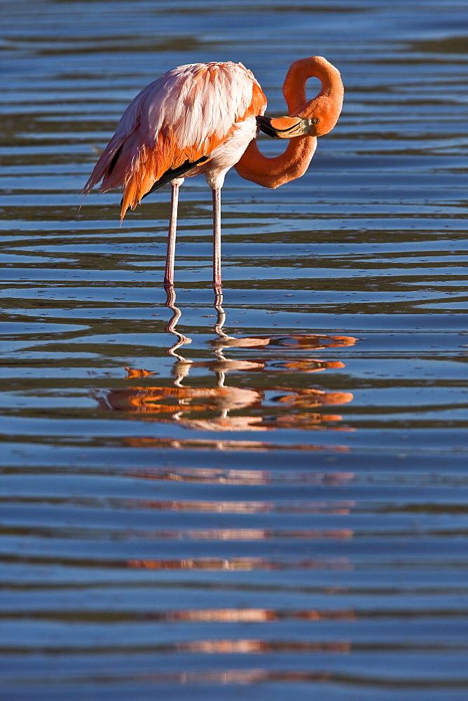 Greater flamingo (Phoenicopterus ruber) foraging for small pink shrimp (Artemia salina) in saltwater lagoon near Punta Cormorant on Floreana Island in the Galapagos Island Archipeligo, Ecuador. Pacific Ocean.