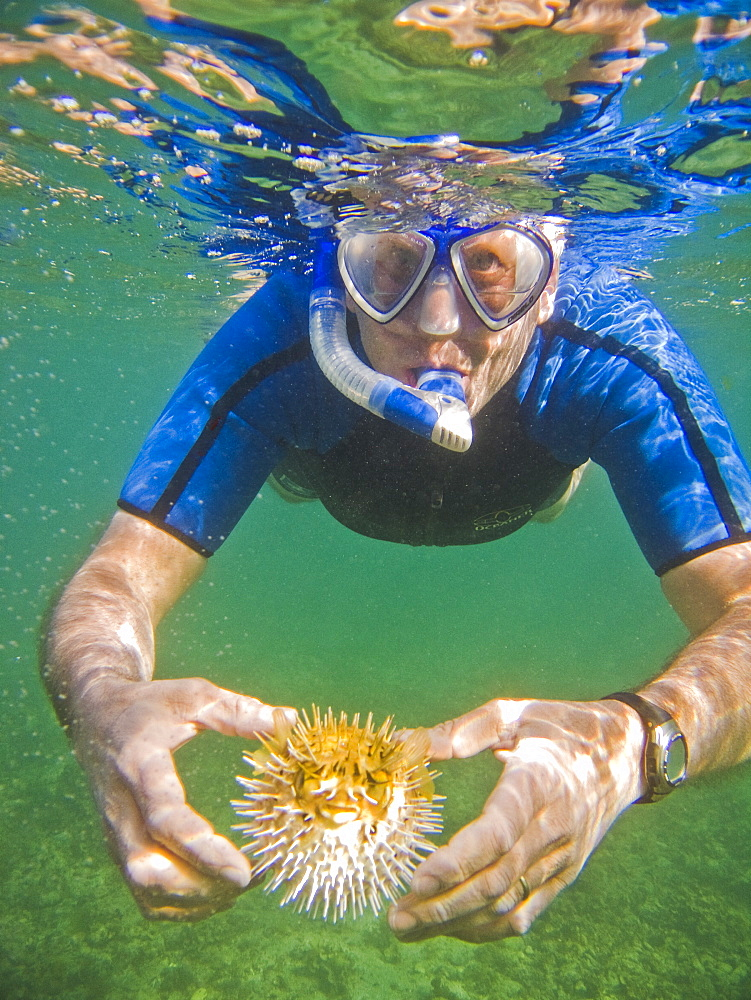 A snorkeler with a young balloonfish (Diodon holocanthus) puffed up in a state of agitation on Isla Monseratte in the lower Gulf of California (Sea of Cortez), Baja California Sur, Mexico.