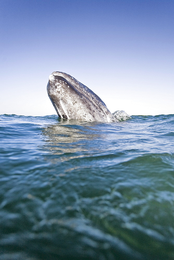California Gray Whale (Eschrichtius robustus) calf spy-hopping in San Ignacio Lagoon on the Pacific side of the Baja Peninsula, Baja California Sur, Mexico