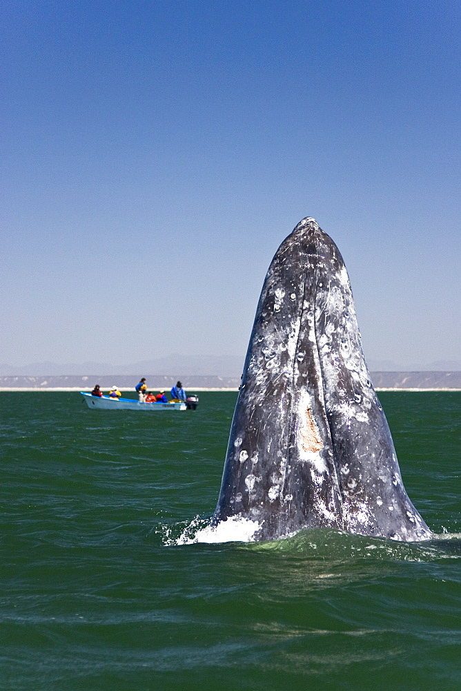An adult California Gray Whale (Eschrichtius robustus) spy-hopping (note the eye above water) in San Ignacio Lagoon, Baja Peninsula, Baja California Sur, Mexico