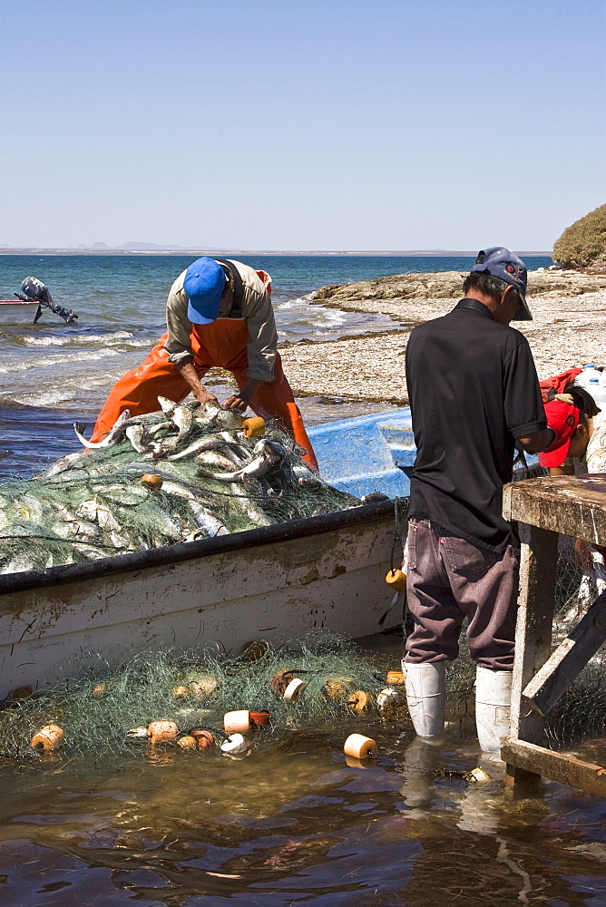 Three generations of Mexican fisherman work to pick, sort, and clean a huge catch from their gill net in San Ignacio Lagoon, Baja California Sur, Mexico. The men usually fish and clean the gill net, the women traditionally clean the fish while their children play nearby. The going rate for this catch was about 80 cents USD per kilo of cleaned fish. NO MODEL OR PROPERTY RELEASES FOR THESE IMAGES.