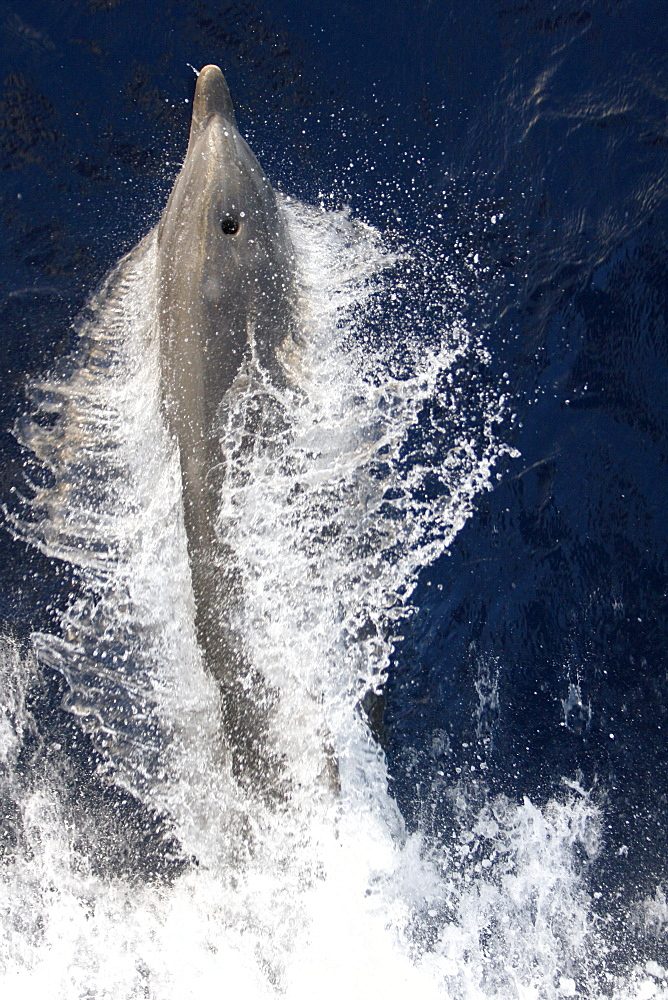 Adult bottlenose dolphin (Tursiops truncatus) bow riding the National Geographic Endeavour in the waters surrounding St. Helena in the south Atlantic Ocean.