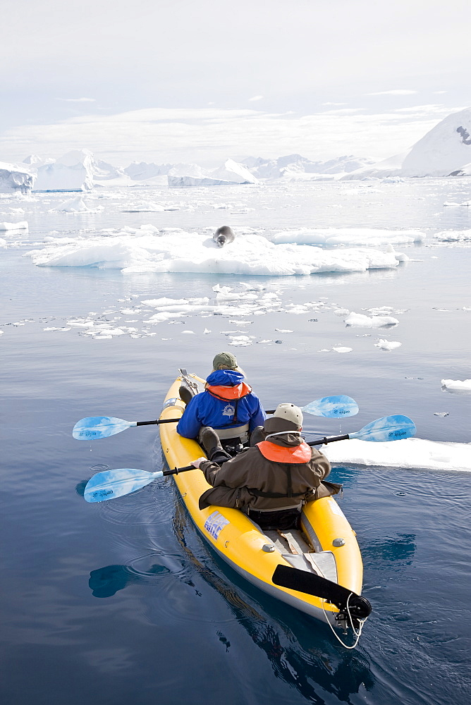 National Geographic photographer Joel Sartore and his wife Kathy kayaking with a leopard seal near Danco Island, Antarctica. The Leopard seal (Hydrurga leptonyx) is the second largest species of seal in the Antarctic (after the Southern Elephant Seal), and is near the top of the Antarctic food chain. It can live twenty-six years, possibly more. Orcas are the only natural predators of leopard seals. Females are generally larger than the males. The bulls are generally 2.5 m (8.2 ft) to 3.2 m (10.5 ft) and weigh between 200 kg (441 lb) and 453.5 kg (1,000 lb), while cows are between 2.4 meters (7.9 feet) and 3.4 meters (11.2 feet) in length and weigh between 225 kg (496 lb) and 591 kg (1,303 lb). In 2003, a leopard seal dragged a snorkeling biologist underwater to her death in what was identified as the first known human fatality from a leopard seal. However, numerous examples of aggressive behavior, stalking, and attacks on humans had been previously documented. The leopard seal has also been known to snap at people's feet through holes in the ice. Model release for Joel and Kathy JS0209.