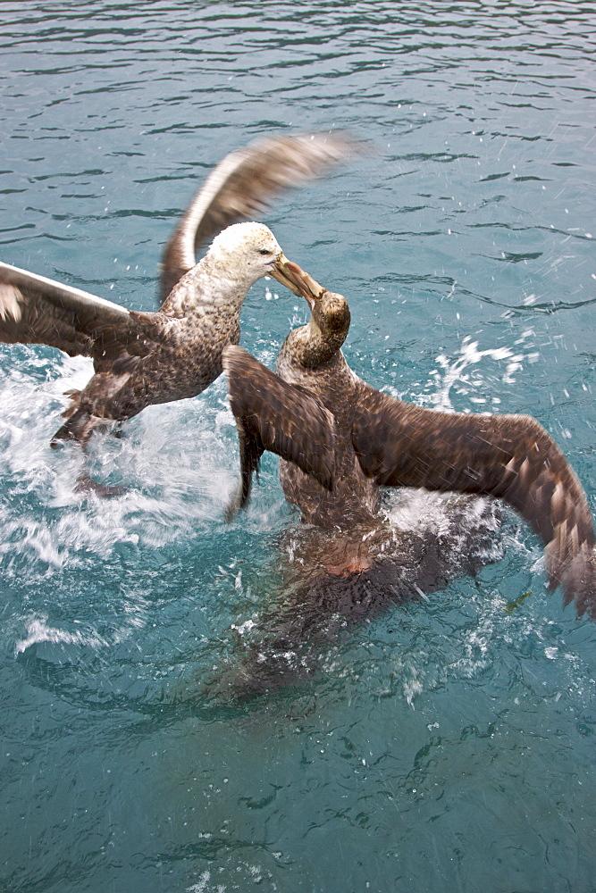 Southern Giant Petrel (Macronectes giganteus) and Northern Giant Petrel (Macronectes halli) tearing apart an Antarctic fur seal pup in the water at Grytviken on South Georgia, Southern Atlantic Ocean