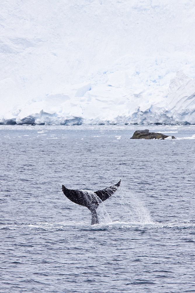 Humpback whale (Megaptera novaeangliae) surfacing near the Antarctic Peninsula. One of the larger rorqual species, adults range in length from 12?16 metres (40?50 ft) and weigh approximately 36,000 kilograms (79,000 lb). The humpback has a distinctive body shape, with unusually long pectoral fins and a knobbly head. It is an acrobatic animal, often breaching and slapping the water. Males produce a complex whale song, which lasts for 10 to 20 minutes and is repeated for hours at a time. The purpose of the song is not yet clear, although it appears to have a role in mating. Found in oceans and seas around the world, humpback whales typically migrate up to 25,000 kilometres each year. Humpbacks feed only in summer, in polar waters, and migrate to tropical or sub-tropical waters to breed and give birth in the winter. During the winter, humpbacks fast and live off their fat reserves. The species' diet consists mostly of krill and small fish. Humpbacks have a diverse repertoire of feeding methods. Humpback whale populations here are severely depleated from over fishing during the 20th century modern era whaling efforts. A 2007 study identified seven individual whales wintering off the Pacific coast of Costa Rica as those which had made a trip from the Antarctic of around 8,300 km. Identified by their unique tail patterns, these animals have made the longest documented migration by a mammal.