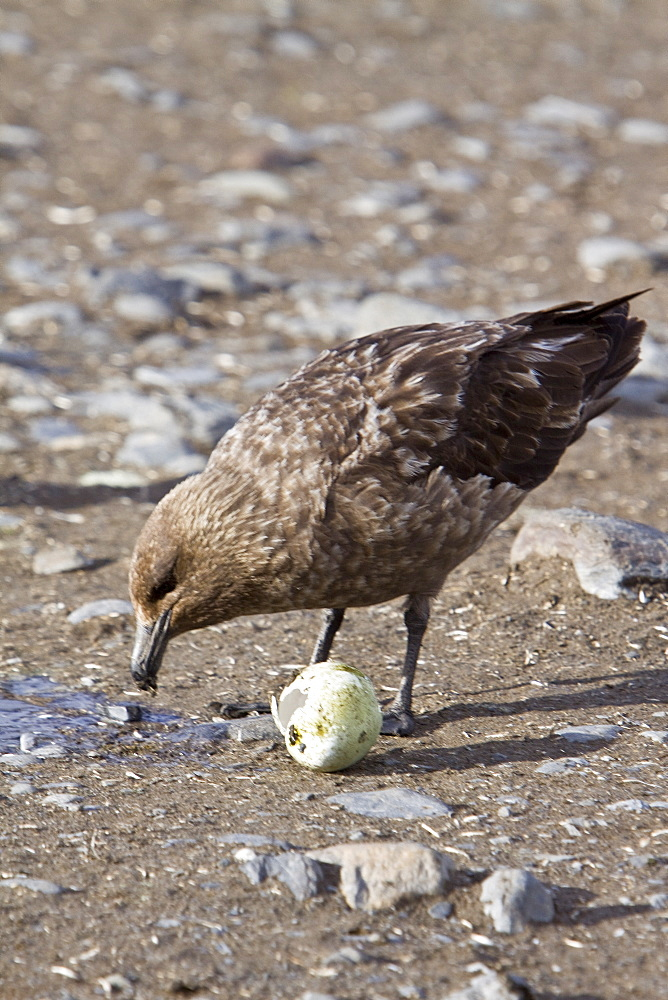 An adult Brown Skua (Catharacta antarctica) with a stolen penguin egg on South Georgia Island in the Southern Ocean. This skua is often referred to as Antarctic Skua (or vice versa); the taxonomy of Skuas is still a matter of dispute. Other names (probably owing to the high level of hybridization in this species) include Southern Great Skua, Southern Skua or Subantarctic Skua.