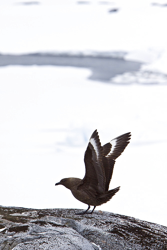 An adult Brown Skua (Catharacta antarctica)  in the Antarctic peninsula in the southern ocean. This skua is often referred to as Antarctic Skua (or vice versa); the taxonomy of Skuas is still a matter of dispute. Other names (probably owing to the high level of hybridization in this species) include Southern Great Skua, Southern Skua or Subantarctic Skua.