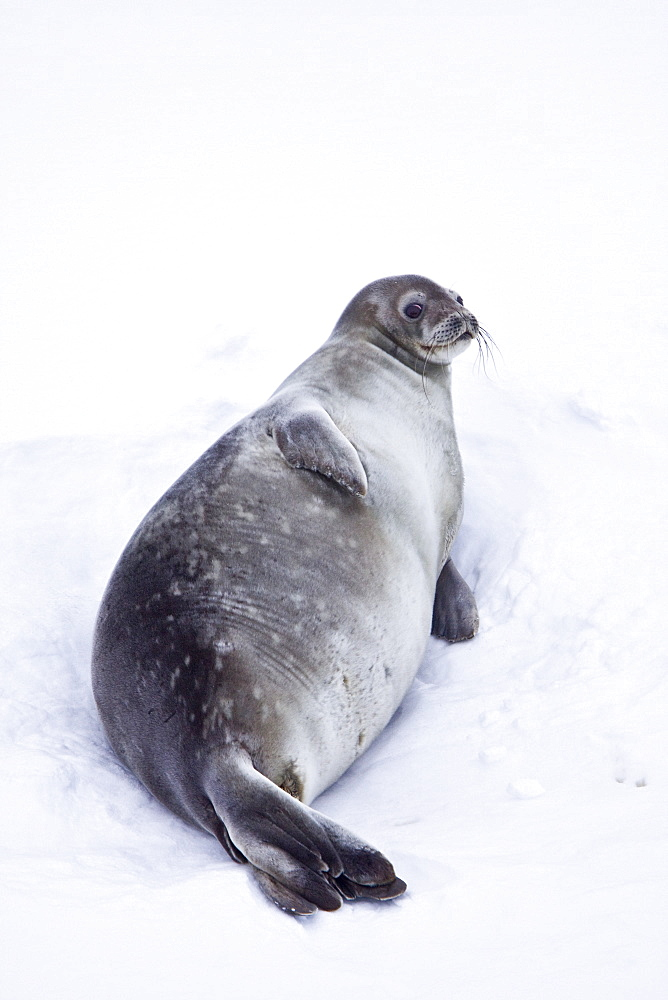 Weddell Seal (Leptonychotes weddellii) hauled out on ice near the Antarctic Peninsula, southern Ocean. This is the most southerly breeding seal in the world, south to 78 degrees south, inhabiting both pack and fast ice. A weddell seal can grow 2.8 metres (9 ft 2 in) long and weigh between 400 to 600 kg (880 to 1,300 lb). It is estimated that there are approximately 800,000 individuals today. It is named after Sir James Weddell, commander of British sealing expeditions in the Weddell Sea. It is the only species in the genus Leptonychotes. Recorded dive depths to 750 m for 73 minutes. On average, the Weddell Seal lives for 20 years, compared to an average life expectancy of 40 years for most other seals. This is because the Weddell Seal winters under the Antarctic sea ice adjacent to continental Antarctica where it must constantly maintain breathing holes by scraping the ice with its teeth. This has the effect of wearing down its teeth over time. Once a Weddell Seal's teeth have worn down to a certain level, the seal is unable to eat and eventually starves to death. The Weddell Seal lives further south than any other mammal, inhabiting the waters of McMurdo Sound, 1,300 km (810 mi) from the South Pole. The Weddell Seal is protected by the Antarctic Treaty and the Convention for the Conservation of Antarctic Seals.