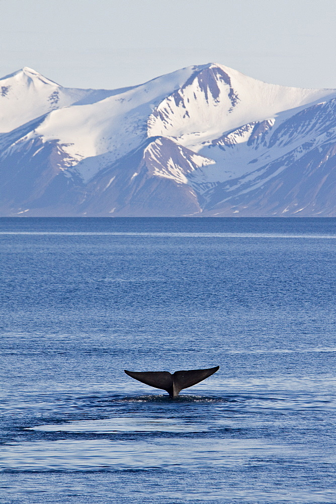 A very rare sighting of an adult blue Whale (Balaenoptera musculus) fluke-up dive off the northwestern side of Spitsbergen Island in the Svalbard Archipelago, Barents Sea, Norway. This animal was sighted at almost 80 degrees north latitude. At up to 32.9 metres (108 feet) in length and 172 metric tonnes (190 tons) or more in weight, it is the largest animal ever known to have existed.