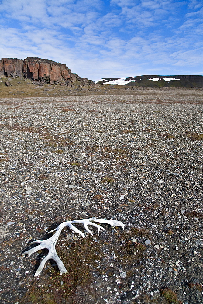 Svalbard reindeer antlers (Rangifer tarandus platyrhynchus) on the gentle plains of Talaveraflya on the south shore of Borentsoya. in the Svalbard Archipelago, Norway. The Svalbard reindeer is a small subspecies of Rangifer tarandus. Males are significantly larger than females and have larger antlers. Males weigh approximately 65 kg in spring and 90 kg in autumn, whereas females weigh approximately 53 kg in spring and 70 kg in autumn. The length of males is 160 cm and females are about 150 cm long. Svalbard reindeer are short-legged and have relatively short, round heads.