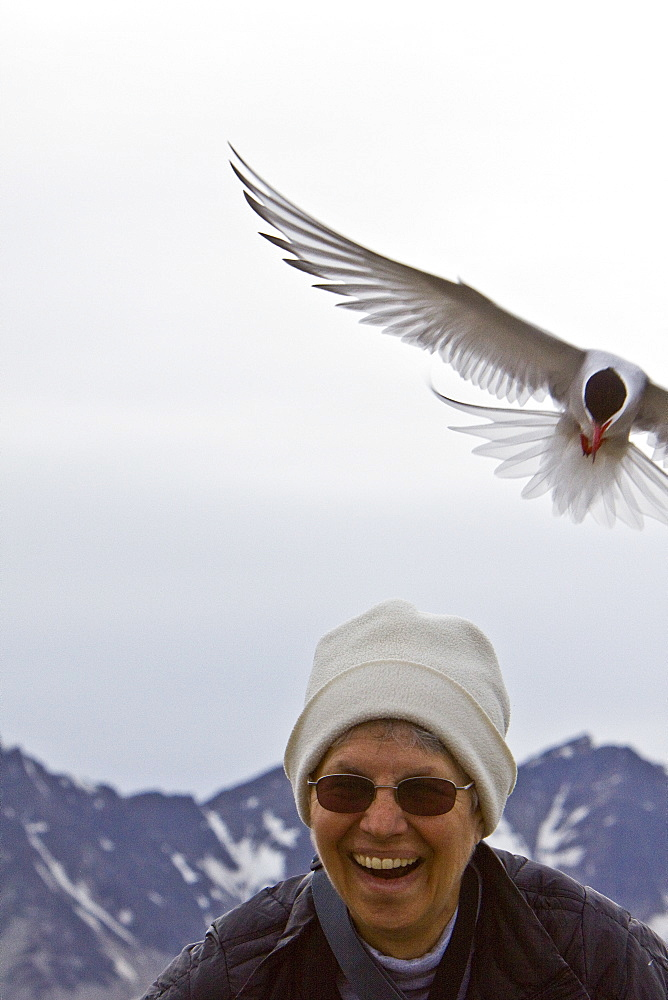 Adult arctic tern (Sterna paradisaea) defending a nest site from encroaching human on Spitsbergen Island in the Svalbard Archipelago, Norway. The arctic tern makes one of the longest annual migrations of any animal on Earth, flying from the high Arctic all the way to Antarctica and back. This is perhaps as much as 40,000 km in a single year! No model release available for this image.