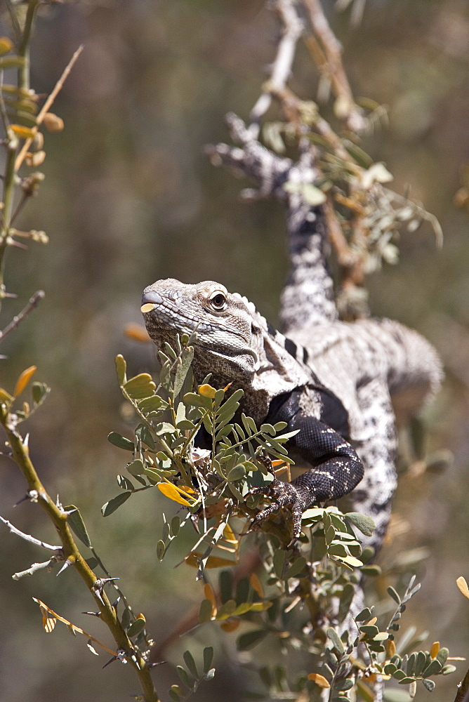 San Esteban spiny-tailed iguana (Ctenosaura conspicuosa), an endemic iguana found only on Isla San Esteban in the Gulf of California (Sea of Cortez), Mexico. MORE INFO: This large iguanid has become specialized in climbing the tall columnar Cardon cactus to feed on its flowers and fruits, sometimes to a height of over ten meters off the ground.