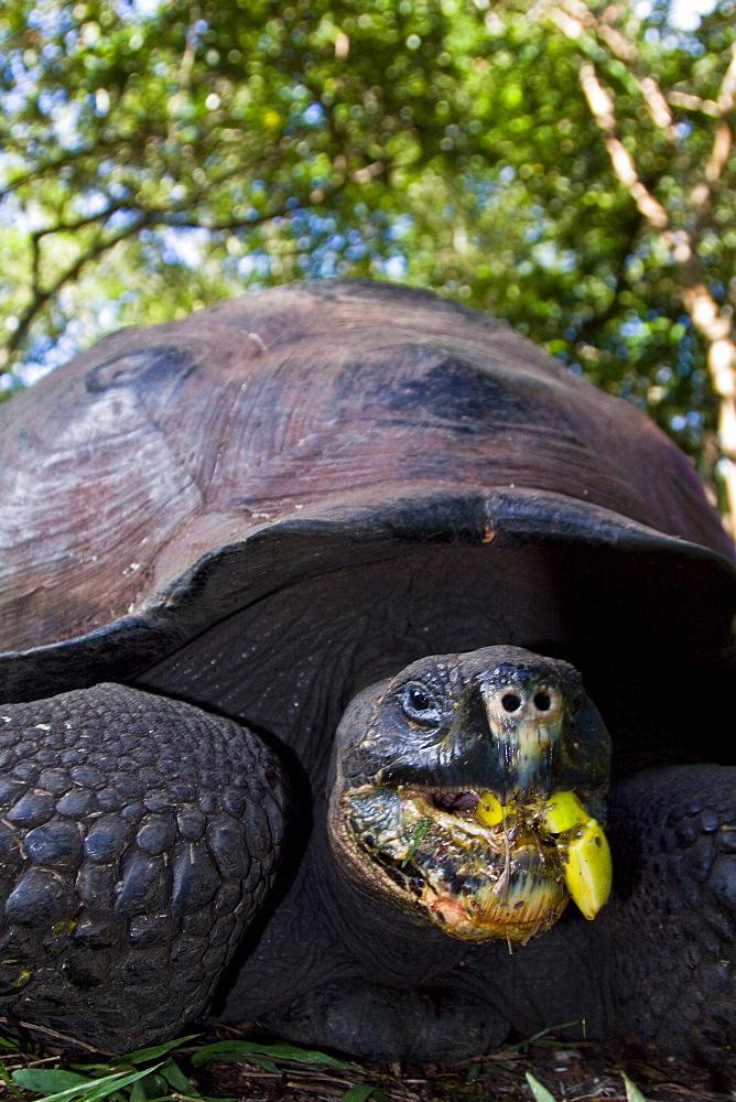 Wild Galapagos giant tortoise (Geochelone elephantopus) feeding on fallen passion fruit on the upslope grasslands of Santa Cruz Island in the Galapagos Island Archipelago, Ecuador