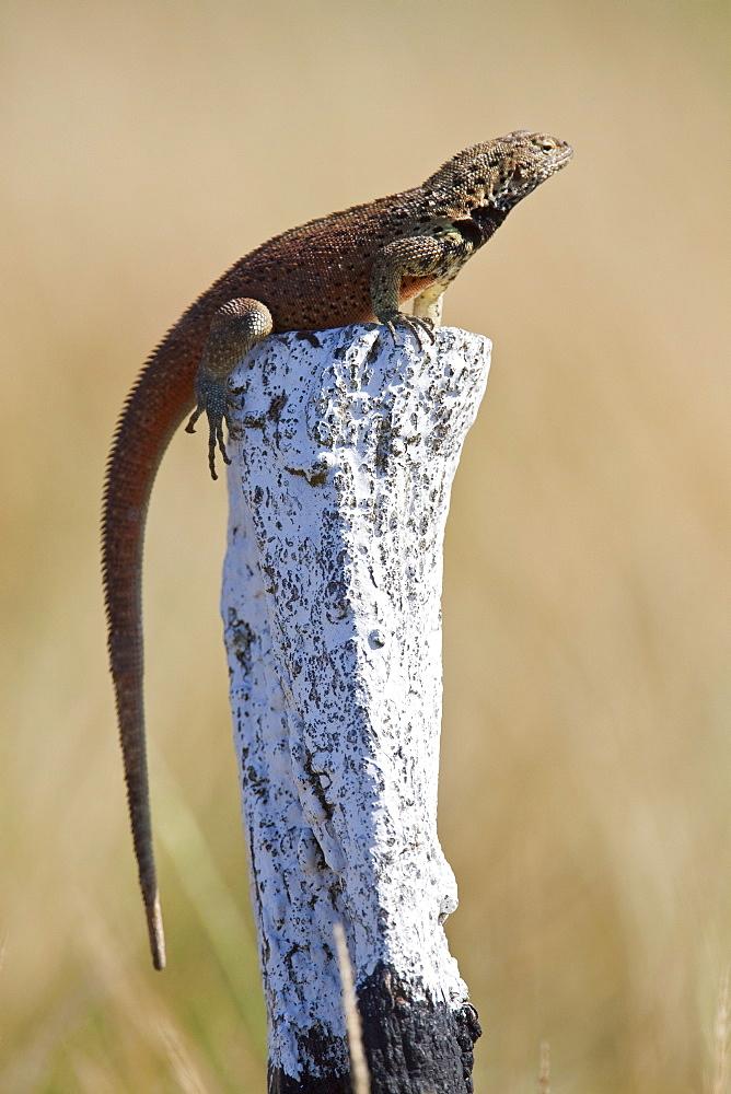 Lava lizard (Microlophus spp) on a trail marker in the Galapagos Island Archipeligo, Ecuador. MORE INFO: Many of the islands within the Galapagos Island Archipeligo have their own endemic species.