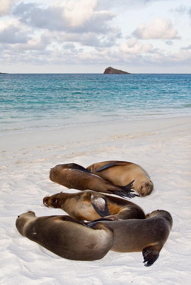 Galapagos sea lion (Zalophus wollebaeki) in the Galapagos Island Group, Ecuador. Pacific Ocean.