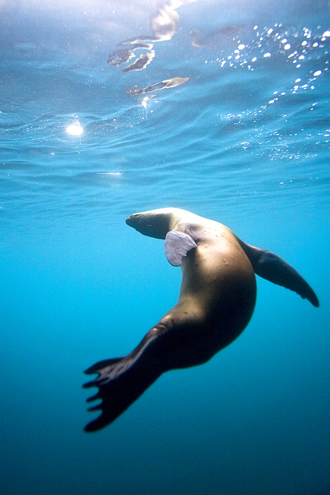 Galapagos sea lion (Zalophus wollebaeki) underwater in the Galapagos Island Group, Ecuador. Pacific Ocean. - 979-6463