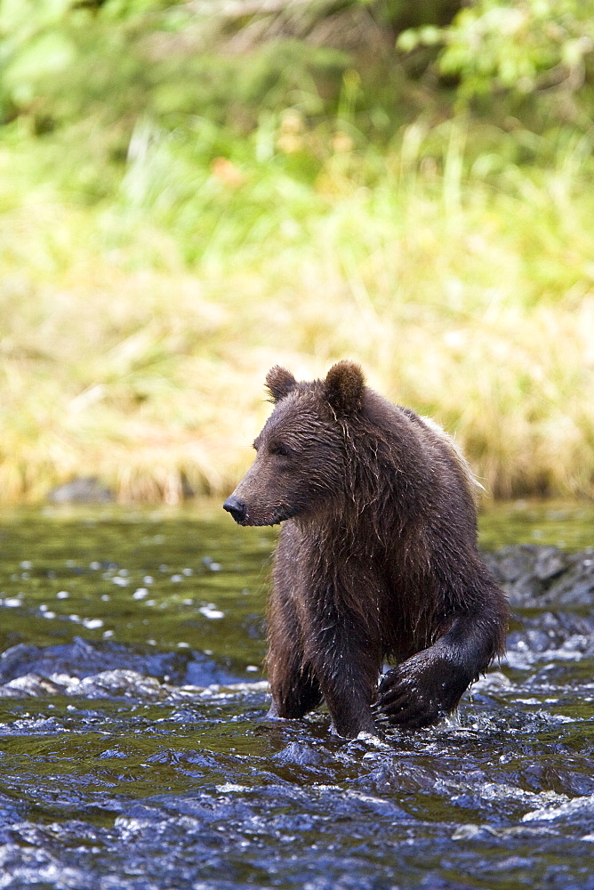 A young Brown Bear (Ursus arctos) fishing for pink salmon near the salmon weir at Pavlof Harbor on Chichagof Island in Southeast Alaska, USA. Pacific Ocean. This particular bear has an unusual blonde blaze of fur across it's back making it very easy to identify.  The normal range of physical dimensions for a brown bear is a head-and-body length of 1.7 to 2.8 m (5.6 to 9.2 feet) and a shoulder height 90 to 150 cm (35 to 60 inches). Males are 38-50% larger than females. It is not unusual for large male Kodiak Bears to stand over 3 m (10 feet) while on their hind legs and to weigh about 680 kg (1,500 lb). The largest wild Kodiak bear on record weighed over 1,100 kilograms (2,500 pounds). There are about 200,000 brown bears in the world, with 32,500 in the United States. 95% of the brown bear population in the United States live in Alaska.