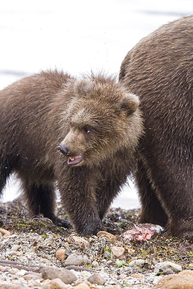 Mother brown bear (Ursus arctos) with cub-of-year (COY) at the Brooks River in Katmai National Park near Bristol Bay, Alaska, USA. Pacific Ocean. The normal range of physical dimensions for a brown bear is a head-and-body length of 1.7 to 2.8 m (5.6 to 9.2 feet) and a shoulder height 90 to 150 cm (35 to 60 inches). Males are 38-50% larger than females. It is not unusual for large male Kodiak Bears to stand over 3 m (10 feet) while on their hind legs and to weigh about 680 kg (1,500 lb). The largest wild Kodiak bear on record weighed over 1,100 kilograms (2,500 pounds). There are about 200,000 brown bears in the world, with 32,500 in the United States. 95% of the brown bear population in the United States live in Alaska.