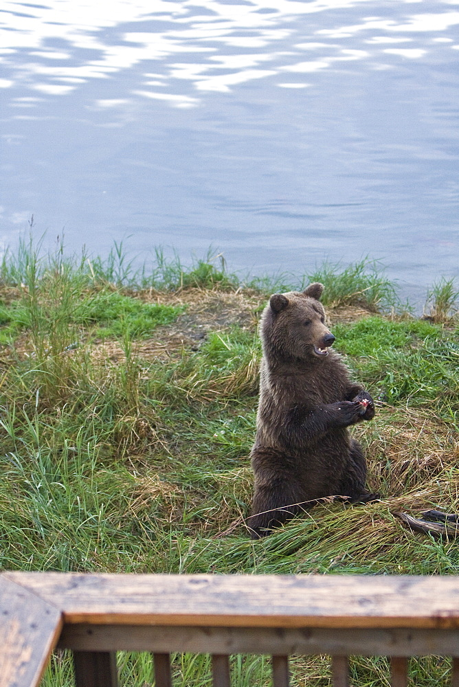 A curious brown bear (Ursus arctos) two year-old near the parking lot at the Brooks River in Katmai National Park near Bristol Bay, Alaska, USA. Pacific Ocean. The normal range of physical dimensions for a brown bear is a head-and-body length of 1.7 to 2.8 m (5.6 to 9.2 feet) and a shoulder height 90 to 150 cm (35 to 60 inches). Males are 38-50% larger than females. It is not unusual for large male Kodiak Bears to stand over 3 m (10 feet) while on their hind legs and to weigh about 680 kg (1,500 lb). The largest wild Kodiak bear on record weighed over 1,100 kilograms (2,500 pounds). There are about 200,000 brown bears in the world, with 32,500 in the United States. 95% of the brown bear population in the United States live in Alaska.