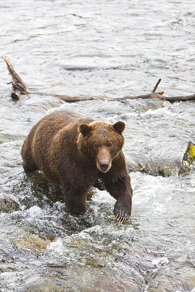 Adult brown bear (Ursus arctos) foraging for spawning sockeye salmon at the Brooks River in Katmai National Park near Bristol Bay, Alaska, USA. Pacific Ocean. The normal range of physical dimensions for a brown bear is a head-and-body length of 1.7 to 2.8 m (5.6 to 9.2 feet) and a shoulder height 90 to 150 cm (35 to 60 inches). Males are 38-50% larger than females. It is not unusual for large male Kodiak Bears to stand over 3 m (10 feet) while on their hind legs and to weigh about 680 kg (1,500 lb). The largest wild Kodiak bear on record weighed over 1,100 kilograms (2,500 pounds). There are about 200,000 brown bears in the world, with 32,500 in the United States. 95% of the brown bear population in the United States live in Alaska.