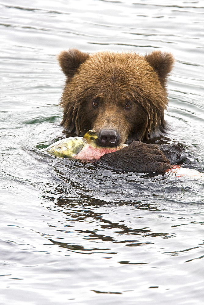 Adult brown bear (Ursus arctos) foraging for dying sockeye salmon at the Brooks River in Katmai National Park near Bristol Bay, Alaska, USA. Pacific Ocean. The normal range of physical dimensions for a brown bear is a head-and-body length of 1.7 to 2.8 m (5.6 to 9.2 feet) and a shoulder height 90 to 150 cm (35 to 60 inches). Males are 38-50% larger than females. It is not unusual for large male Kodiak Bears to stand over 3 m (10 feet) while on their hind legs and to weigh about 680 kg (1,500 lb). The largest wild Kodiak bear on record weighed over 1,100 kilograms (2,500 pounds). There are about 200,000 brown bears in the world, with 32,500 in the United States. 95% of the brown bear population in the United States live in Alaska.
