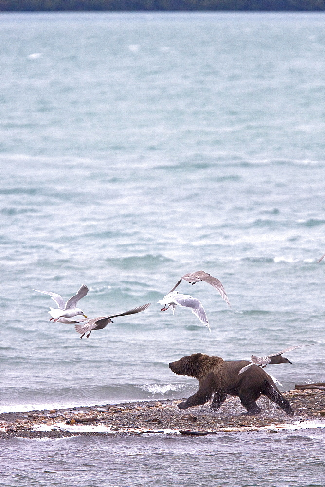 Brown bear cub (Ursus arctos) chasing gulls on the beach near the Brooks River in Katmai National Park near Bristol Bay, Alaska, USA. Pacific Ocean. The normal range of physical dimensions for a brown bear is a head-and-body length of 1.7 to 2.8 m (5.6 to 9.2 feet) and a shoulder height 90 to 150 cm (35 to 60 inches). Males are 38-50% larger than females. It is not unusual for large male Kodiak Bears to stand over 3 m (10 feet) while on their hind legs and to weigh about 680 kg (1,500 lb). The largest wild Kodiak bear on record weighed over 1,100 kilograms (2,500 pounds). There are about 200,000 brown bears in the world, with 32,500 in the United States. 95% of the brown bear population in the United States live in Alaska.