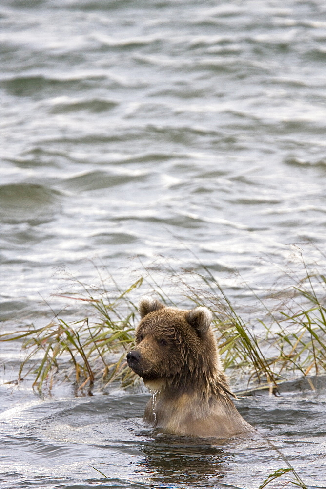 Young brown bears (Ursus arctos) at the Brooks River in Katmai National Park near Bristol Bay, Alaska, USA. Pacific Ocean. The normal range of physical dimensions for a brown bear is a head-and-body length of 1.7 to 2.8 m (5.6 to 9.2 feet) and a shoulder height 90 to 150 cm (35 to 60 inches). Males are 38-50% larger than females. It is not unusual for large male Kodiak Bears to stand over 3 m (10 feet) while on their hind legs and to weigh about 680 kg (1,500 lb). The largest wild Kodiak bear on record weighed over 1,100 kilograms (2,500 pounds). There are about 200,000 brown bears in the world, with 32,500 in the United States. 95% of the brown bear population in the United States live in Alaska.