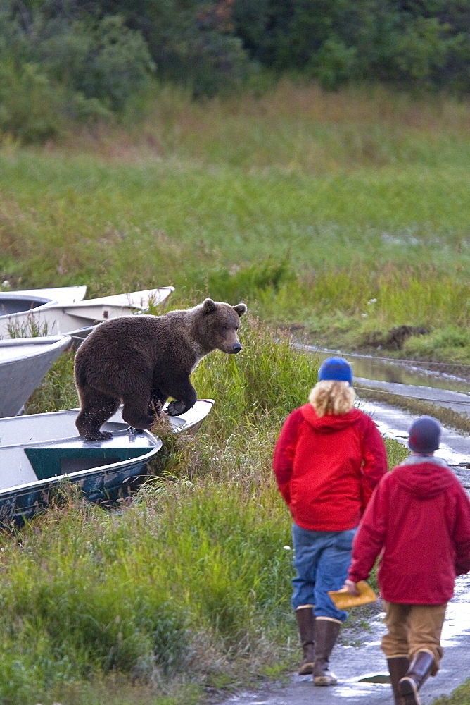 Brooks Camp employees trying to discourage two brown bear cubs (Ursus arctos) from damaging boats at the Brooks River in Katmai National Park near Bristol Bay, Alaska, USA. Pacific Ocean. The normal range of physical dimensions for a brown bear is a head-and-body length of 1.7 to 2.8 m (5.6 to 9.2 feet) and a shoulder height 90 to 150 cm (35 to 60 inches). Males are 38-50% larger than females. It is not unusual for large male Kodiak Bears to stand over 3 m (10 feet) while on their hind legs and to weigh about 680 kg (1,500 lb). The largest wild Kodiak bear on record weighed over 1,100 kilograms (2,500 pounds). There are about 200,000 brown bears in the world, with 32,500 in the United States. 95% of the brown bear population in the United States live in Alaska.