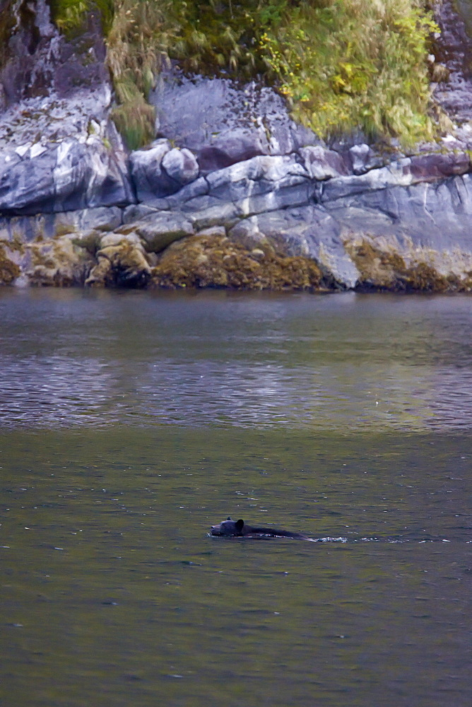 An adult black bear (Ursus americanus) swimming then climbing a steep cliff in  Kynoch Inlet in Fjordland Provincial Park, British Columbia, Canada. Pacific Ocean. MORE INFO: The black bear usually ranges in length from 150 to 180 cm (5 to 6 feet) and typically stands about 76 to 91 cm (2.5 to 3 feet) at the shoulder. Standing up on its hind feet, a black bear can be up to 7 feet tall (2.12 m). Males are 33% larger than females. Females weigh between 40 and 180 kg (90 and 400 pounds); males weigh between 115 and 275 kg (250 and 600 pounds).