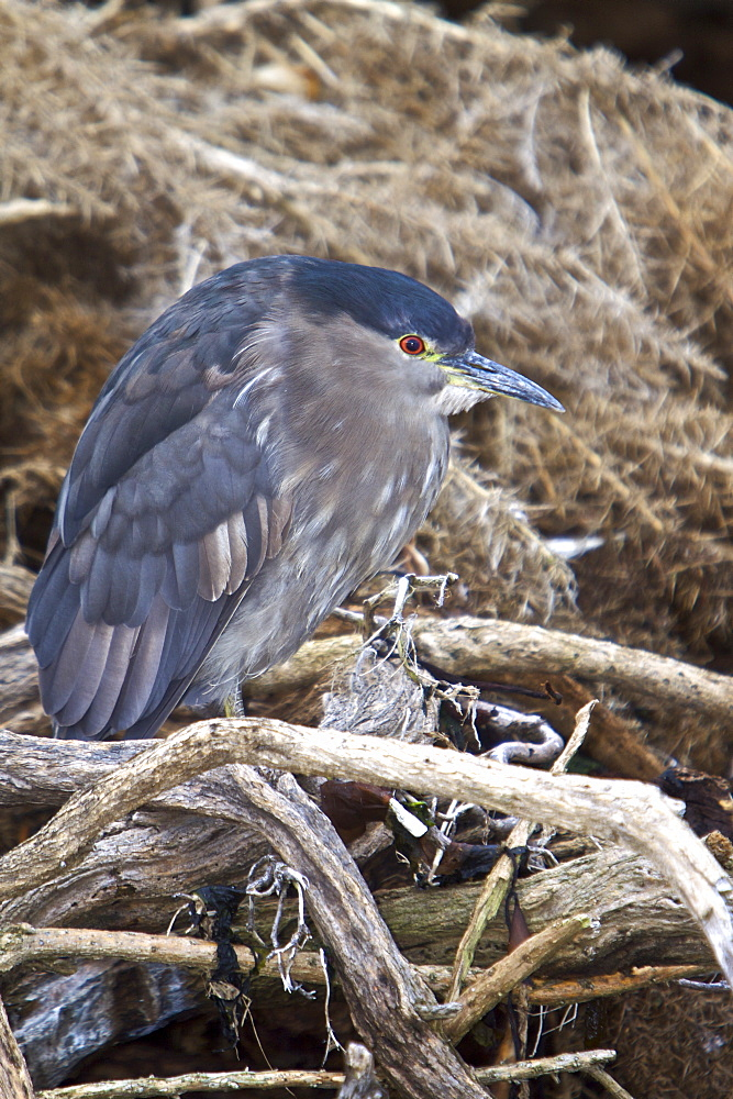 "An adult Black-crowned Night Heron (Nycticorax nycticorax falklandicus) foraging at low tide on Carcass Island in the Falkland Islands, South Atlantic Ocean. This species is a medium-sized heron, adults are 64 cm long and weigh 800 g. They have a black crown and back with the remainder of the body white or grey, red eyes, and short yellow legs. Young birds are brown, flecked with white and grey. The breeding habitat is fresh and salt-water wetlands throughout much of the world. Black-crowned Night Herons nest in colonies on platforms of sticks in a group of trees, or on the ground in protected locations such as islands or reedbeds. Three to eight eggs are laid. This heron is migratory outside the tropical parts of its extensive range, where it is a permanent resident. These birds stand still at the water's edge and wait to ambush prey, mainly at night. They primarily eat small fish, crustaceans, frogs, aquatic insects, and small mammals. During the day they rest in trees or bushes. The scientific name, Nycticorax, means ""night raven"", and refers to this species' nocturnal habits and harsh crow-like call. In the Falkland Islands, they are known as ""quarks"" which is an onomatopoeic term."