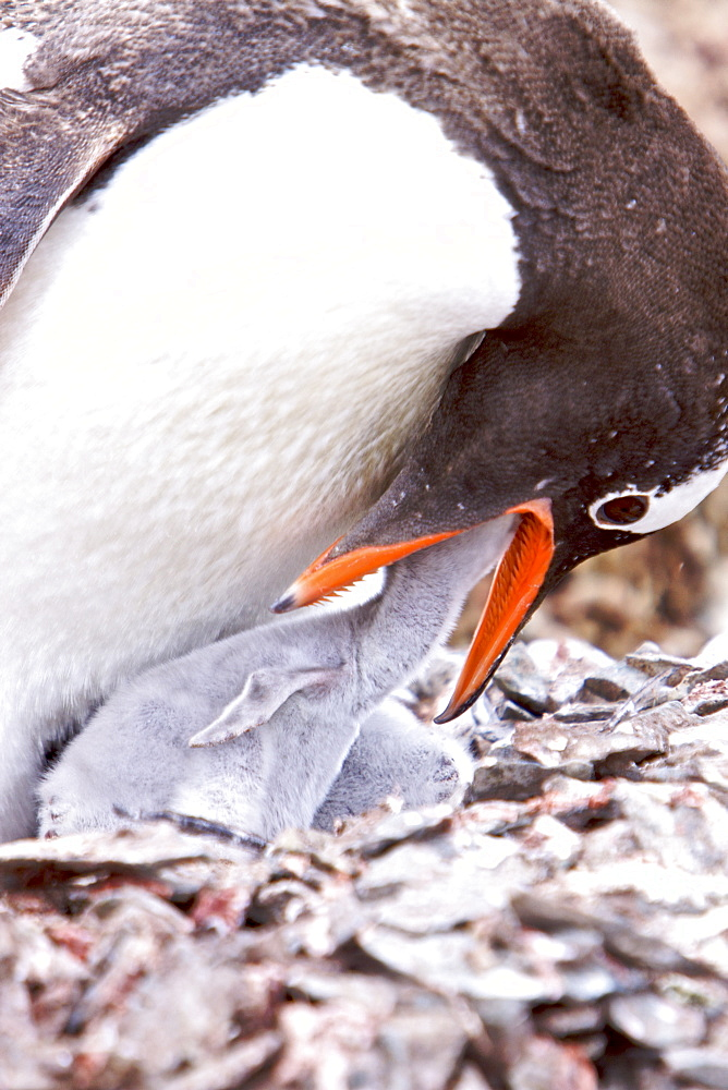 Adult Gentoo penguin (Pygoscelis papua) feeding chick in Antarctica. The Gentoo Penguin is one of three species in the genus Pygoscelis. It is the third largest of all penguins worldwide, with adult Gentoos reach a height of 51 to 90 cm (20-36 in).There are an estimated 80,000 breeding gentoo penguin pairs in the Antarctic peninsula area with a total population estimate of around 314,000 breeding pairs in all of Antarctica. Males have a maximum weight of about 8.5 kg (18.8 lbs) just before moulting, and a minimum weight of about 4.9 kg (10.8 lbs) just before mating. For females the maximum weight is 8.2 kg (18 lbs) just before moulting, but their weight drops to as little as 4.5 kg (10 lbs) when guarding the chicks in the nest. Birds from the north are on average 700 g (1.5 lbs) and 10 cm (4 in) taller than southern birds. They are the fastest underwater swimming penguins, reaching speeds of 36 km/h. Gentoo Penguins are listed as Near Threatened on the IUCN Red List.