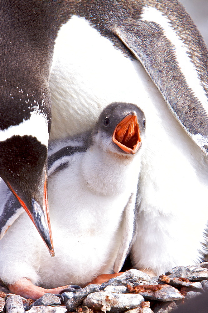 Adult Gentoo penguin (Pygoscelis papua) with chick in Antarctica. The Gentoo Penguin is one of three species in the genus Pygoscelis. It is the third largest of all penguins worldwide, with adult Gentoos reach a height of 51 to 90 cm (20-36 in).There are an estimated 80,000 breeding gentoo penguin pairs in the Antarctic peninsula area with a total population estimate of around 314,000 breeding pairs in all of Antarctica. Males have a maximum weight of about 8.5 kg (18.8 lbs) just before moulting, and a minimum weight of about 4.9 kg (10.8 lbs) just before mating. For females the maximum weight is 8.2 kg (18 lbs) just before moulting, but their weight drops to as little as 4.5 kg (10 lbs) when guarding the chicks in the nest. Birds from the north are on average 700 g (1.5 lbs) and 10 cm (4 in) taller than southern birds. They are the fastest underwater swimming penguins, reaching speeds of 36 km/h. Gentoo Penguins are listed as Near Threatened on the IUCN Red List.