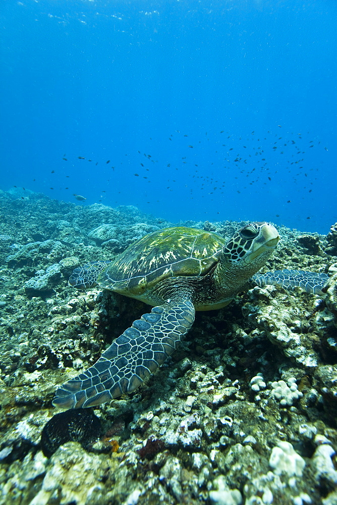 Adult green sea turtle (Chelonia mydas) in the protected marine sanctuary at Honolua Bay on the northwest side of the island of Maui, Hawaii, USA. MORE INFO The range of this species extends throughout tropical and subtropical seas around the world, with two distinct populations in the Atlantic and Pacific Oceans. They are green because of their fat underneath their shell (carapace). As a species recognized as endangered by the IUCN and CITES, Chelonia mydas is protected from exploitation in most countries worldwide. It is illegal to collect, harm or kill individual turtles in the Hawaiian Islands.