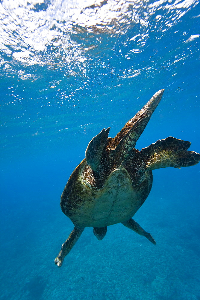 Adult male green sea turtle (Chelonia mydas) in the protected marine sanctuary at Honolua Bay on the northwest side of the island of Maui, Hawaii, USA - 979-7840