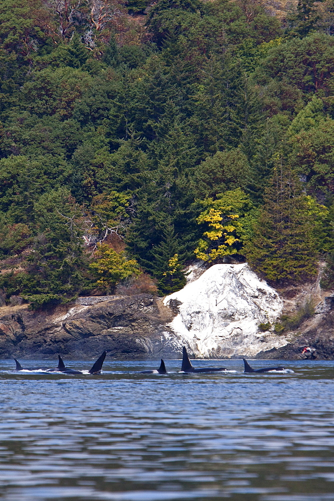 Excited whale watchers on shore see all three resident killer whale (Orcinus orca) pods off Lime Kiln lighthouse, San Juan Island, Washington State, USA